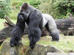 Silverback Ivo by Esmay van Strien on Gorillas In The Mist, Silverback Gorilla, Animal Anatomy, Orangutans, Prehistoric Animals, Monkey Business, Primates, Photo Reference, Owls