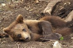 Photo gallery for Ursus arctos horribilis, the scientific name for the Grizzly…