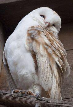 Beautiful White Owl!