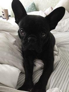 Suri #frenchbulldog