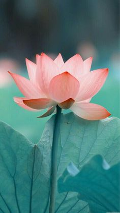 No mudNo lotus. No mudNo lotus. The post No mudNo lotus. appeared first on Easy flowers. Art Floral, Nature Wallpaper, Wallpaper Backgrounds, Mobile Wallpaper, Lotus Wallpaper, Iphone Wallpapers, Amazing Wallpaper, Landscape Wallpaper, Animal Wallpaper