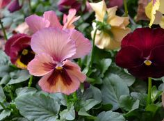 Pansies...the happiest fall flowers in SC.