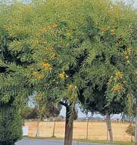 Acacia azul, Acacia de hoja azul, Acacia de hojas azules, Acacia azulada.