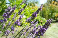 herbs to attract beneficial insects