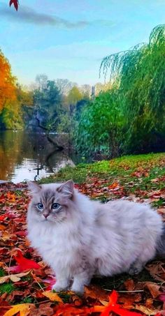 Beautiful Cats, Animals Beautiful, Animals And Pets, Cute Animals, Siberian Cat, Cat Photography, Cute Cats And Kittens, Domestic Cat, Cute Animal Pictures