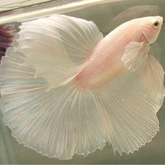 Some interesting betta fish facts. Betta fish are small fresh water fish that are part of the Osphronemidae family. Betta fish come in about 65 species too! Beautiful Creatures, Animals Beautiful, Cute Animals, Pink Animals, Fauna Marina, Carpe Koi, Beta Fish, Siamese Fighting Fish, Beautiful Fish