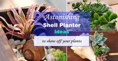 Sea shell planters are creative ways to show off plants. You can tuck smaller succulents and use them as a centerpiece of your home.