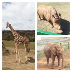 El día viendo bichitos, no he podido ser más feliz #Cabarceno #Cantabria #Spain #Natural #giraffe #rihno #elephant #animals #wild #awesome