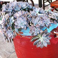 """7 aprecieri, 5 comentarii - Irina Tania (@irina.tania2004) pe Instagram: """"#succulents #succulentplant #photography #flowers #grece #purple #beautiful"""""""