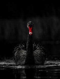 Zwarte Zwaan/Black Swan