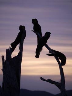 Black Cockatoos at sunrise in the Huon Valley  observertree.org Australian Birds, Cockatoo, Garden Ornaments, Tasmania, Beautiful Birds, Silhouettes, Mystic, Sunrise, Heart