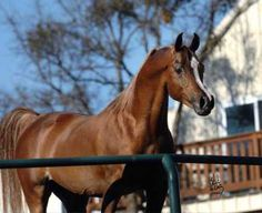 Thee Asil is a tall chestnut stallion with an extremely proud carriage and attitude. A son of Thee Desperado, Asil's female lineage traces back to Sakr, a stallion known for passing along his magnificent movement. Arabians Ltd, Waco, Texas