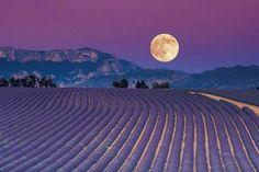 Moon over fields of purple