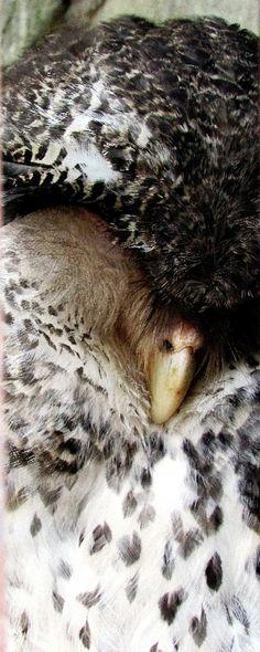 http://www.cutestpaw.com/images/sleepy-owl/