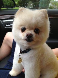 Pomerania #animales #perros #dogs Pomeranian Haircut, Pomeranian Breed, Cute Pomeranian, Pomeranians, Pomsky, Baby Dogs, Pet Dogs, Dog Cat, Pets