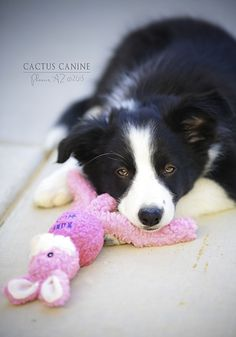 Play, Play, Play, Nap, Play, Play..tough being a #puppy! #BorderCollie
