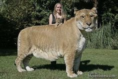 liger is a cross between a male lion and a female tiger.