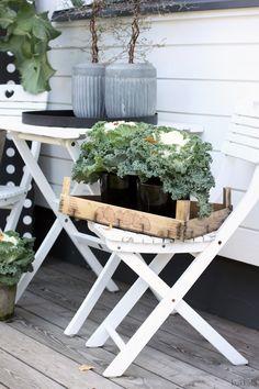 KUKKALA #koristekaali #ornamentalcabbage