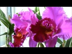 Beautiful Dutch Orchids, never seen before!!! Peony Tree, Parnela Finney...
