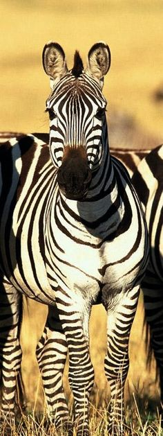 Cute Zebra in Africa