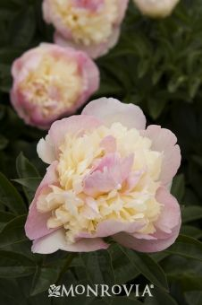 Raspberry Sundae Peony - Luscious double pink flowers with cream tones have versatile color for high profile foundation beds and perennial borders. Robust plants produce plenty of lush foliage. Herbaceous