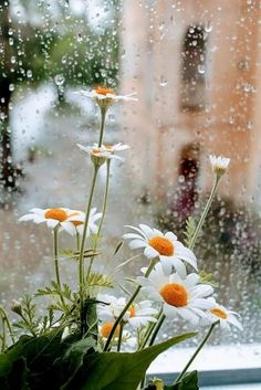 Rainy Days and blooming sunshine ❤️ Rainy Day Photography, Rain Photography, White Photography, Flowers Nature, Wild Flowers, Beautiful Flowers, Flower Wallpaper, Nature Wallpaper, Rainy Day Wallpaper