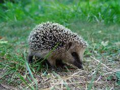 L'hiver, la petite faune du jardin est particulièrement vulnérable. Sa survie dépend en grande partie de l'accumulation de réserves de nourriture faite durant l'automne mais aussi de l'installation dans un abri de fortune. En novembre, il n'est pas rare de croiser la route d'un hérisson en retard, encore en quête d'un refuge. Aidons-le en lui préparant un petit nid douillet pour l'hiver... http://www.jardipartage.fr/abri-pour-herisson-hiver/