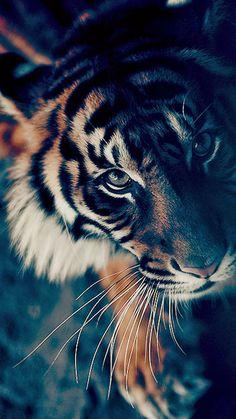 Bengal Tiger Face Closeup #iPhone #6 #plus #wallpaper