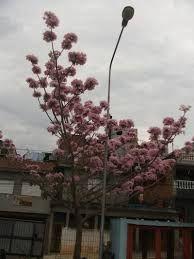Rosicler Araujo: Árvore