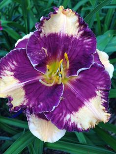 Magical Mystery Show Daylily 7/4/16