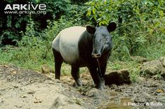 Its unmistakable two-tone pattern distinguishes the Asian tapir, the only Old World tapir, from the other three tapir species of Central and South America (4). The largest of the tapirs, adults possess a stocky black body with a prominent white 'saddle' over the back, which extends down the sides, around the belly and over the rump