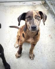 280Red - Catahoula Leopard DogTHE ID # FOR THIS DOG IS 280Red. PLEASE USE THIS # IF YOU CONTACT THE SHELTER ABOUT THIS DOG. HOLD TIME FOR THIS DOG IS UP ON 6/9.   This dog was picked up by animal control (or brought in by a good samaritan) and has not reached it's required 7 day stay yet.