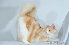 Milla, my Turkish angora female cat.
