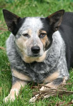 File:Australian Cattle Dog portrait.jpg - Wikipedia