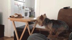 Este perro cuyas patas son un poco resbaladizas para esa mesa: | 31 perros cuyo fracaso fue tan terrible que ganaron