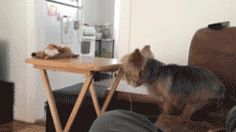 This dog whose feet are a little too slippery for that table. | 31 Dogs Who Failed So Hard They Won