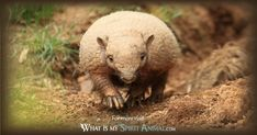In-depth Armadillo Symbolism & Meanings! Armadillo as a Spirit, Totem, & Power Animal. Plus, Armadillo in Celtic & Native American Symbols and Dreams! Animal Meanings, Native American Symbols, Power Animal, Armadillo, Animal Totems, Spirit Animal, Mammals, Meant To Be, Spirit Guides