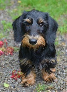 A face to smooch. Dachshund Breed, Wire Haired Dachshund, Funny Dachshund, Dachshund Love, Daschund, Happy Animals, Cute Funny Animals, Animals And Pets, Love Pet