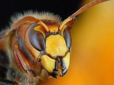 szerszeń – Szukaj wGoogle Insects, Bee, Animals, Mood, Google, Honey Bees, Animales, Animaux, Bees