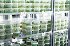 Introduction:-    Tissue culture, an important area of biotechnology can be use to improve the productivity of planting material through en...