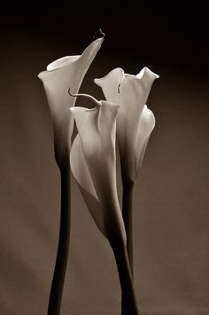 Calla Lilly used by my wife as the main flower as her bouquet at our wedding Lys Calla, Calla Lillies, Calla Lily, Beautiful Sites, Beautiful Pictures, Love Flowers, Beautiful Flowers, White Photography, Flower Art