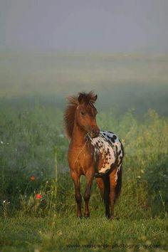 Wild Handsome Appaloosa Chestnut Appaloosa Mustang Foal.