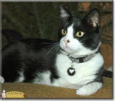 Maestro the Tuxedo Cat