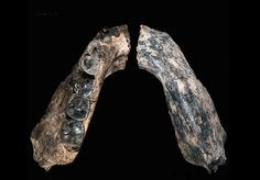 The First of Our Kind. A 2.8-million-year-old jaw is the oldest fossil from our genus.