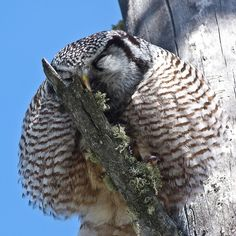 Time to preen: Have to smile when a Northern Hawk Owl gives itself a shake, fluffs itself up and wipes its beak on the nearest branch.