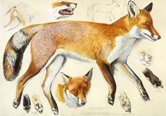 Tunnicliffe Society - Measured Drawings. Fox