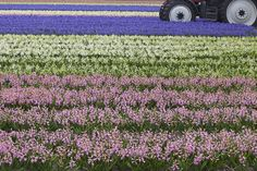 colour striped bulb field