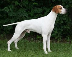 English Pointer http://www.turmericfordogs.com/blog