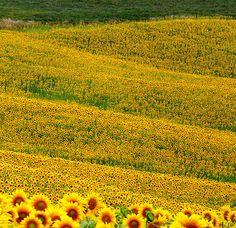 Tuscany...fields of sunflowers! Maremma Italy .