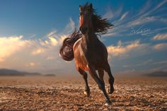 Wild Horse Running Across a Dirt Plain With Beautiful Sky in Background.